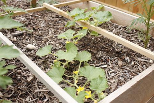 Cantaloupe growing